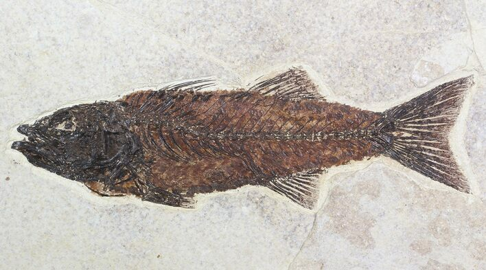 "Gorgeous, 9.1"" Mioplosus Fossil Fish - Wyoming"