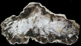 "Buy 10.1"" Petrified Wood (Beech) Slab - Deschutes River, Oregon - #62680"
