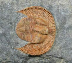 "1.3"" Orange Nankinolithus Trilobite - Mecissi, Morocco For Sale, #62714"