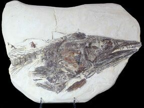 Cimolichthys nepaholica - Fossils For Sale - #62787