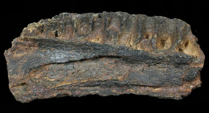 "7.6"" British Dinosaur (Mantillisaurus) Jaw Section - Igaunodon"