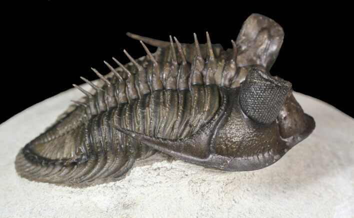"1.95"" Top Quality Tower Eyed Erbenochile Trilobite"