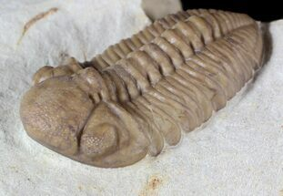 "1.4"" Kainops Trilobite - Black Cat Mountain, Oklahoma For Sale, #63179"