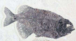 "Buy Bargain, 10"" Phareodus Fossil Fish - Reduced Price - #63358"