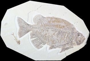 "13.5"" Phareodus Fossil Fish - Voracious Lake Predator For Sale, #63359"
