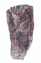 ".72"" Partial Phytosaur Anterior Tooth - Arizona For Sale, #62411"