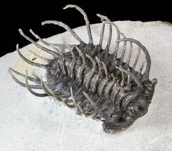"Large, 2"" Spiny Koneprusia Trilobite (Special Price) For Sale, #63377"
