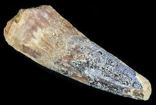 "Bargain, 1.8"" Spinosaurus Tooth - Real Dinosaur Tooth For Sale, #63653"