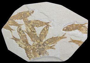 Buy Knightia Fossil Fish Mortality Plate- Wyoming - #63976