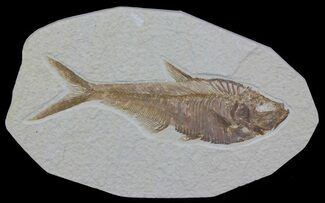 Diplomystus dentatus - Fossils For Sale - #63960