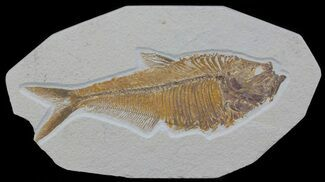 "Buy Detailed, 7.2"" Diplomystus Fossil Fish - Wyoming - #63988"