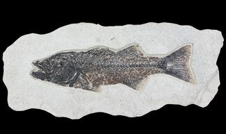 Mioplosus labracoides - Fossils For Sale - #64191
