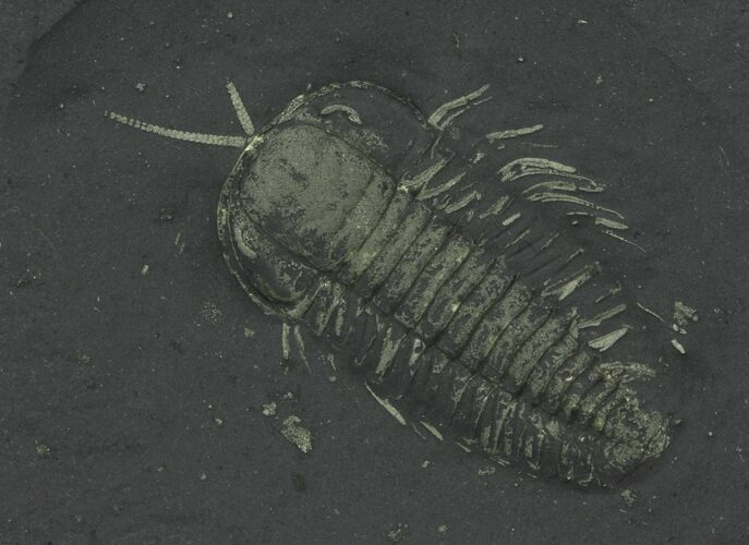 Pyritized Triarthrus Trilobites With Appendages - New York