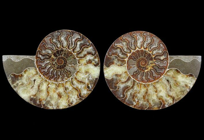 "6.3"" Cut & Polished Ammonite Fossil - Agatized"