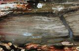 "5.8"" Section of Fossilized ""Peanut Wood"" - Australia - #65361-3"