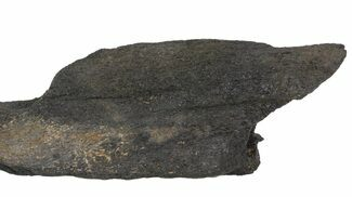 "5.8"" Fossil Whale Bone - Shark Tooth Marks (Megalodon?) For Sale, #64298"