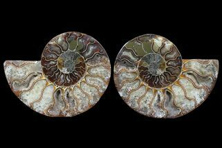 Cleoniceras - Fossils For Sale - #64965