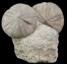 Buy Displayable Fossil Sea Urchins (Clypeus) - England - #65365