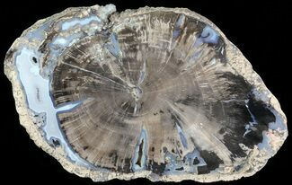 "7.1"" Petrified Wood Slice - Blue Forest, Wyoming For Sale, #66161"