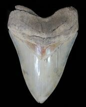 "Serrated, 4.99"" Aurora Megalodon Tooth - Beautiful Enamel For Sale, #66188"