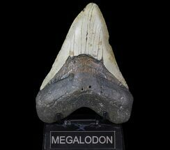 Carcharocles megalodon - Fossils For Sale - #66096