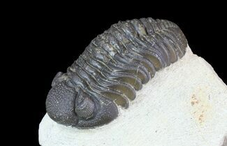 Barrandeops (Phacops) - Fossils For Sale - #66348