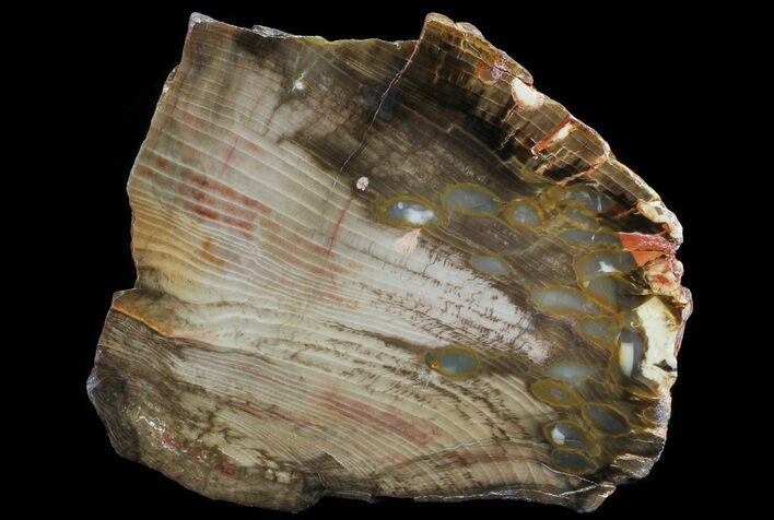 "4.3"" Slab of Fossilized ""Peanut Wood"" - Australia"