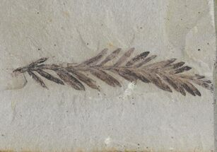 Metasequoia (Dawn Redwood) Fossil - Montana  For Sale, #66437