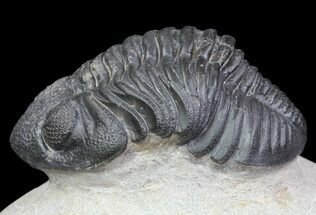 "Buy 2.3"" Pedinopariops Trilobite - Beautiful Preservation - #66340"