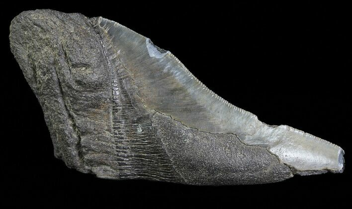 "5.54"" Fossil Megalodon Tooth ""Paper Weight"""