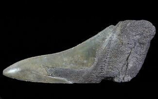 Carcharocles megalodon - Fossils For Sale - #66216