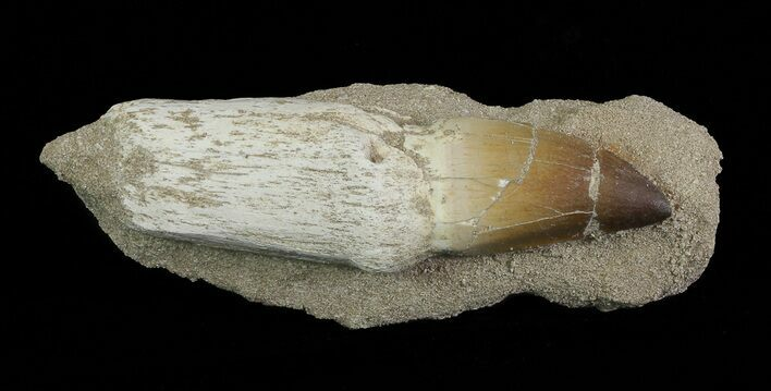 "5.3"" Mosasaur (Prognathodon) Rooted Tooth In Rock - Nice Tooth"