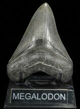 "Buy Serrated, 4.79"" Fossil Megalodon Tooth - Georgia - #66511"
