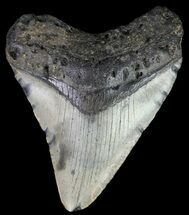 Carcharocles megalodon - Fossils For Sale - #67110