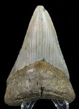 "Buy 4.7"" Megalodon Tooth - North Carolina - #67297"