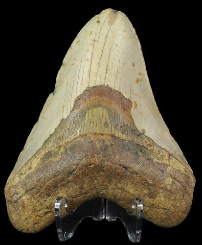 "4.67"" Megalodon Tooth - North Carolina"