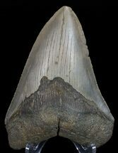 "4.32"" Megalodon Tooth - North Carolina For Sale, #67133"