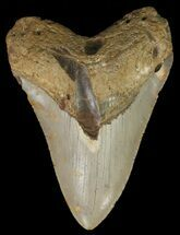 "Buy Bargain, 4.7"" Megalodon Tooth - North Carolina - #67279"
