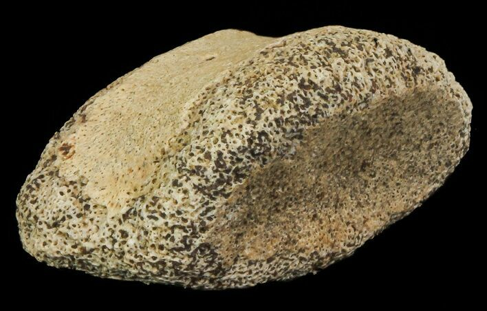 "1"" Ceratopsian Dinosaur Toe Bone - Alberta (Disposition #000028-29)"