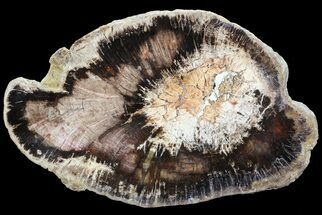 "Buy 7.2"" Polished Petrified Wood (Oak) Slab - Oregon - #68017"