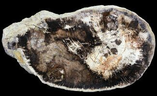 "7.9"" Polished Petrified Wood (Oak) Slab - Oregon For Sale, #68018"