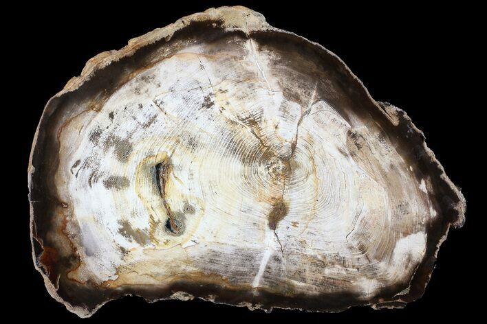 "10.5"" Petrified Wood (Hickory) Slab - Deschutes River, Oregon"