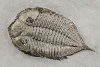 Dalmanites limulurus - Fossils For Sale - #68091