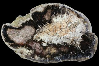 "Buy 7.2"" Polished Petrified Wood (Oak) Slab - Oregon - #68059"
