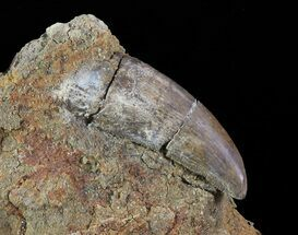 "1.45"" Tyrannosaur Tooth - Aguja Formation, Texas For Sale, #67781"