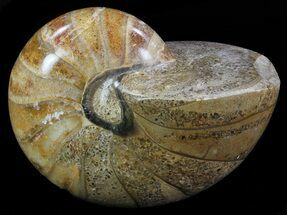 "4.1"" Polished Nautilus Fossil - Madagascar For Sale, #67913"