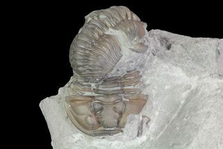 Buy Pair Of Flexicalymene Trilobites In Shale - Ohio - #67657