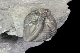 ".8"" Wide, Enrolled Flexicalymene Trilobite In Shale - Ohio For Sale, #67661"