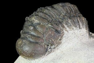 Crotalocephalina gibbus  - Fossils For Sale - #67881