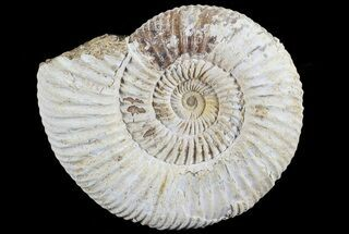 "3"" Perisphinctes Ammonite - Jurassic For Sale, #68192"